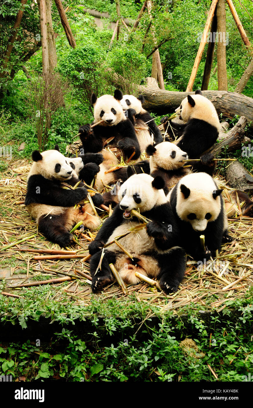 Giant pandas eating bamboo at the Chengdu Research Base of Giant Panda Breeding, Chengdu, Sichuan, China - Stock Image