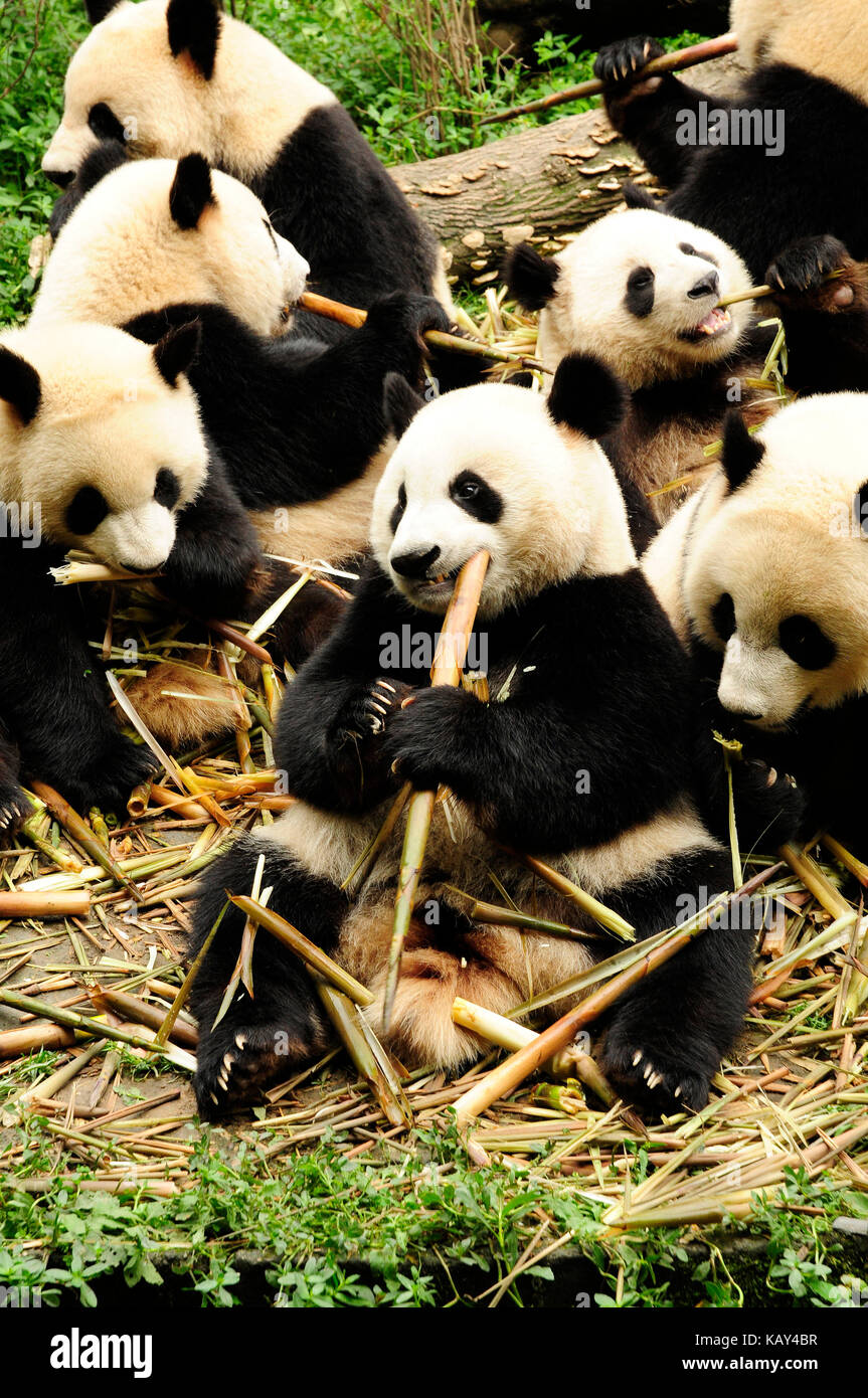 Giant pandas eating bamboo at the Chengdu Research Base of Giant Panda Breeding, Chengdu, Sichuan, China Stock Photo