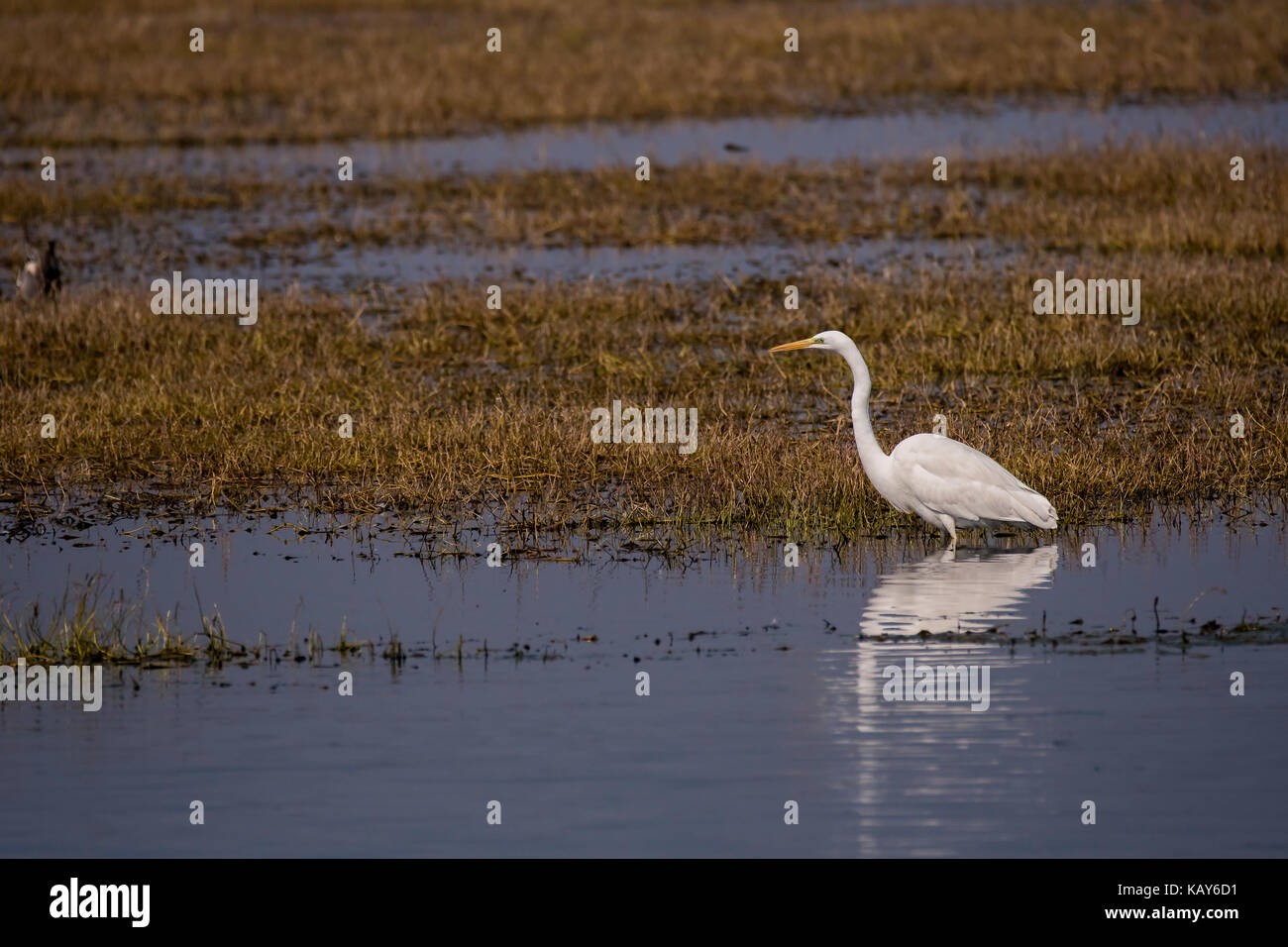 Large egret waiting patiently for a fish to swim by - Stock Image