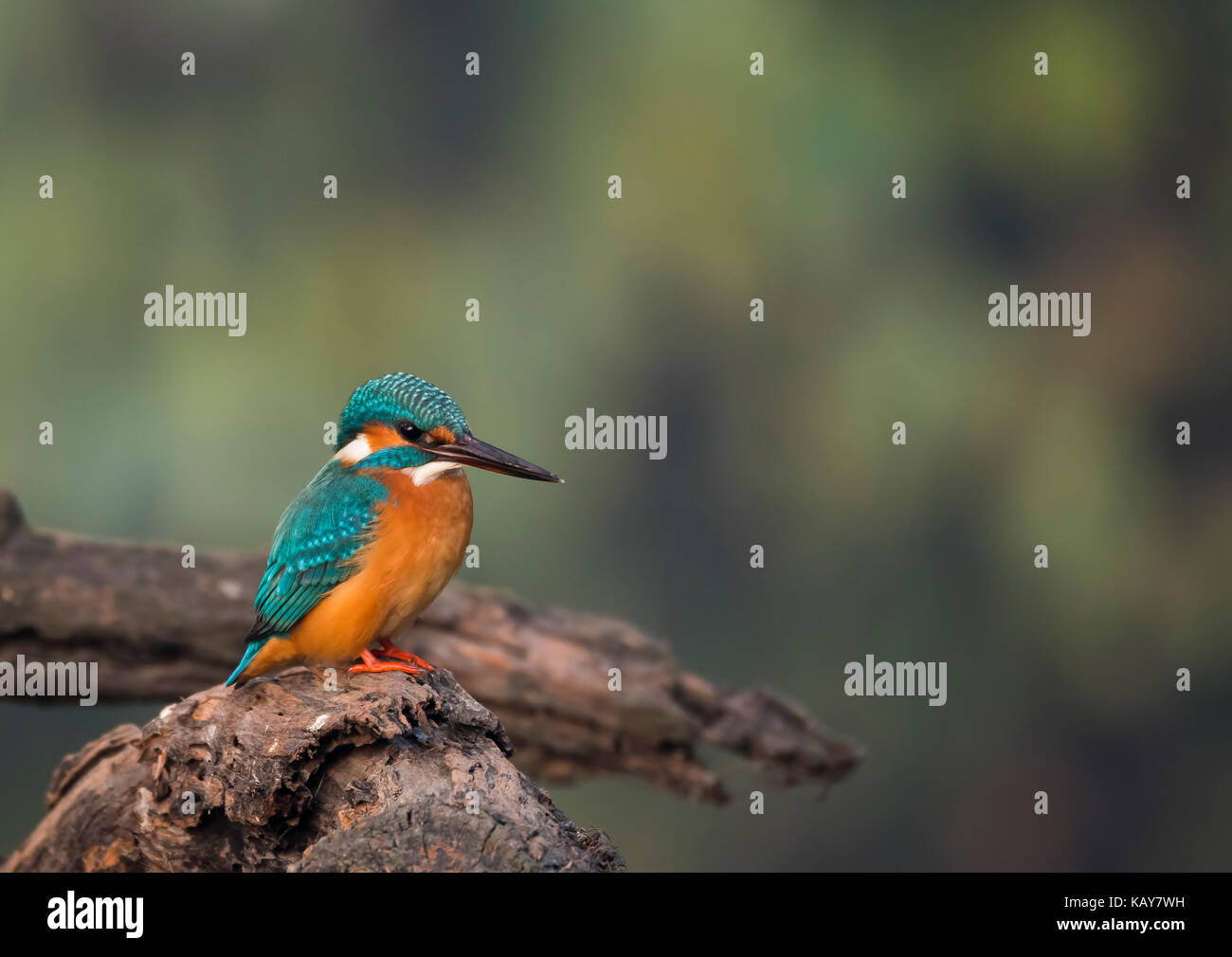 Common blue kingfisher sitting on a tree branch - Stock Image