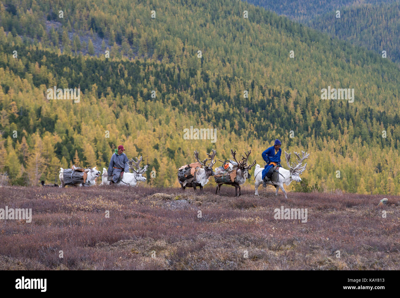 tsaatan family bringing firewood from a forest on reindeer Stock Photo