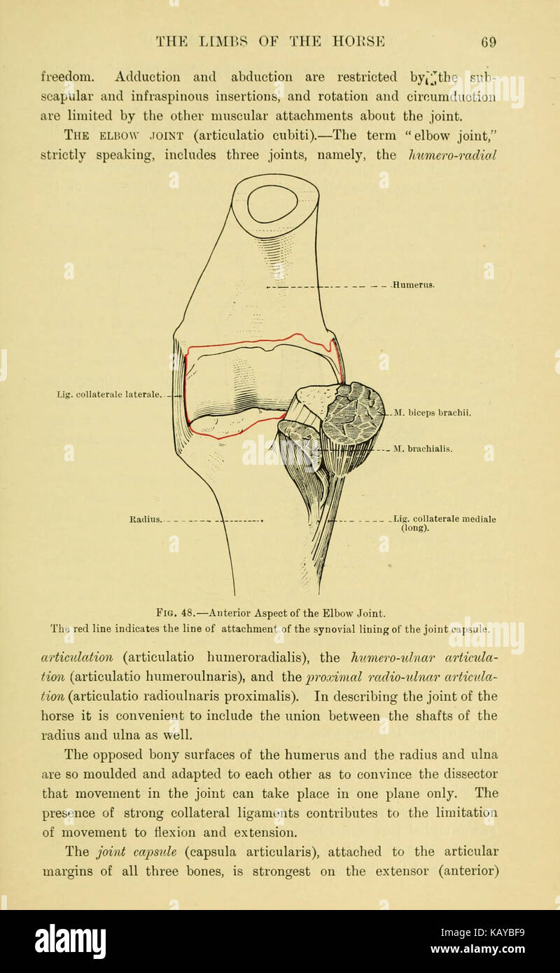 The topographical anatomy of the limbs of the horse (Page 69 Stock ...