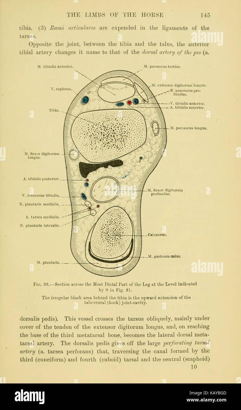 Horse Anatomy Drawing Stock Photos & Horse Anatomy Drawing Stock ...