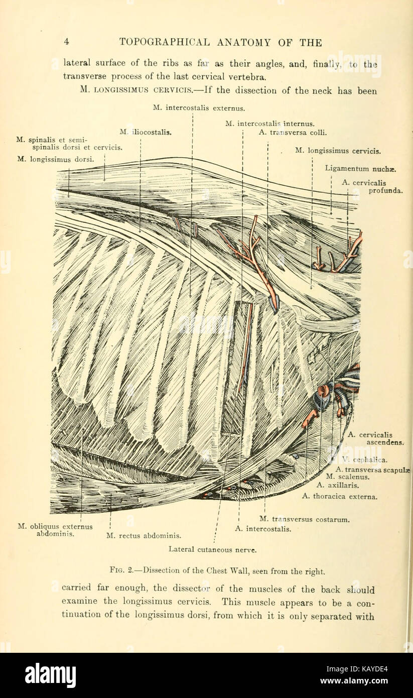 The Topographical Anatomy Of The Thorax And Abdomen Of The Horse