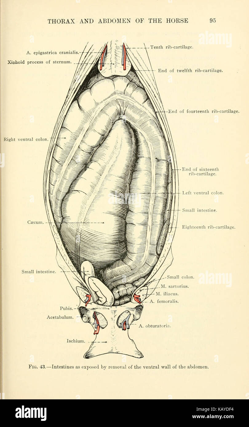Topographical Anatomy Abdomen Horse Page Stock Photos ...