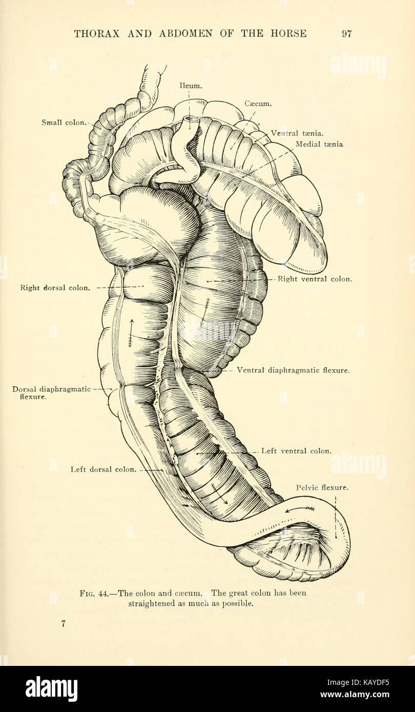 Topographical Anatomy Abdomen Horse Page Stock Photos ...