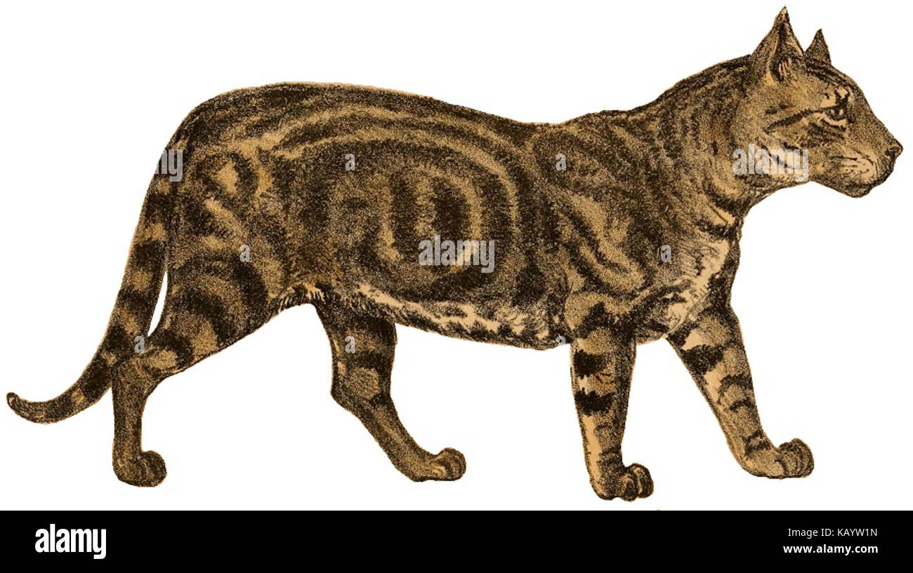 The Journal of the Bombay Natural History Society (tabby cat) - Stock Image