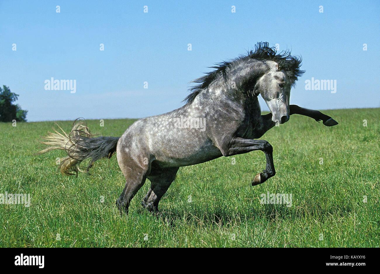 Lusitano stallion, meadow, run, rebel, - Stock Image