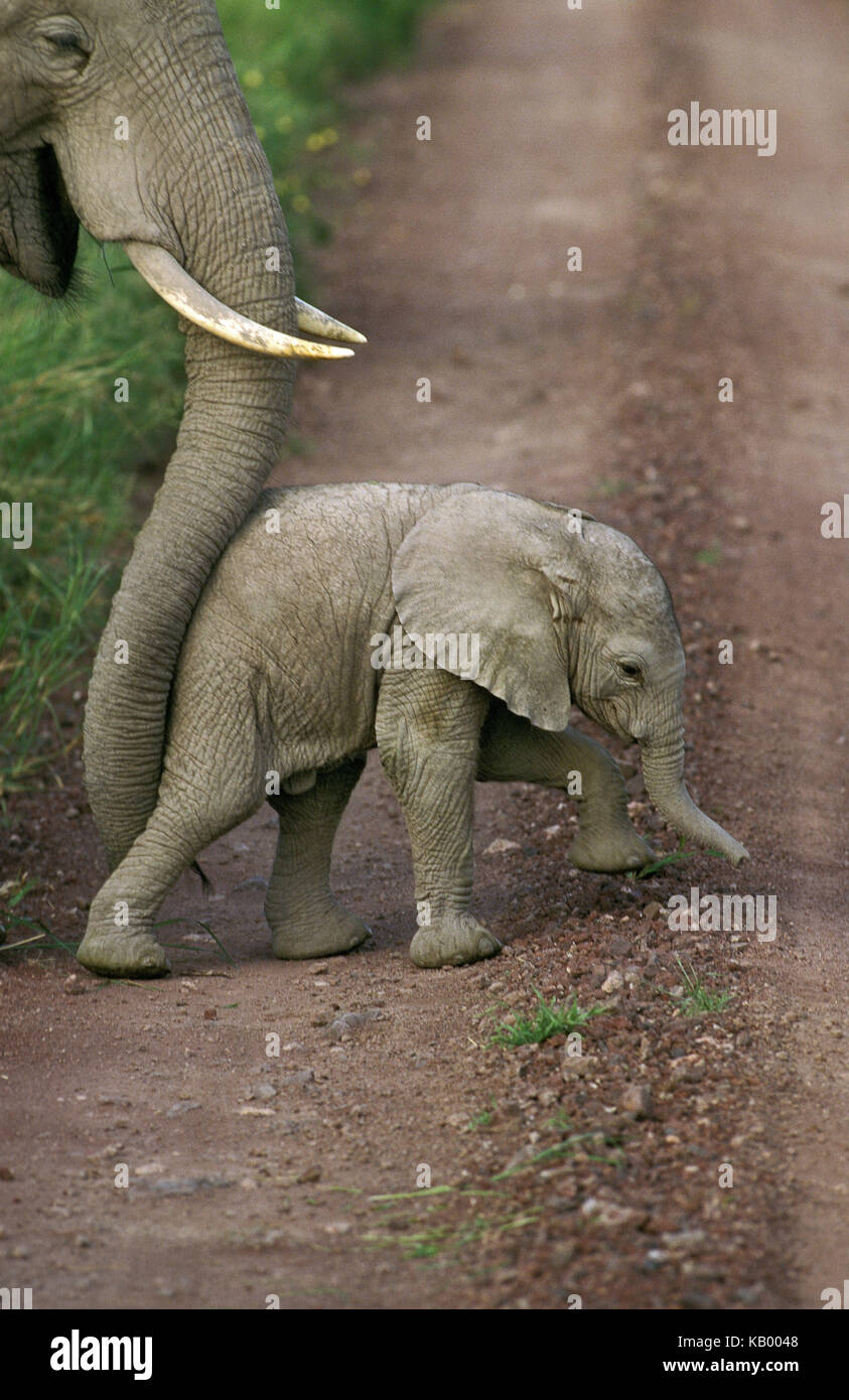African elephant, Loxodonta africana, mother pushes young animal with her trunk over street, Amboseli national park, - Stock Image