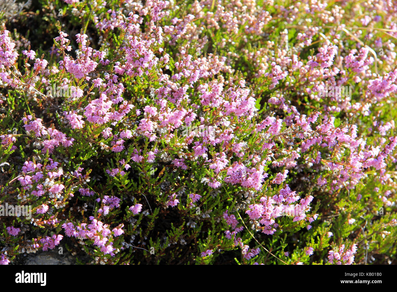 Blossoming wild flowers, heather, Ericaceae, in autumn, - Stock Image