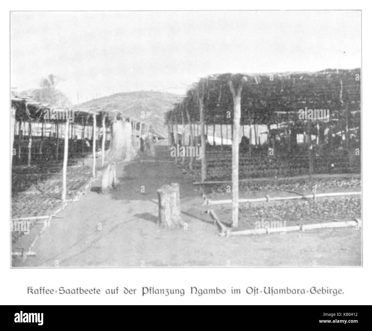 WOHLTMANN(1904) p082 Kaffee Setzlinge auf der Pflanzung Ngambo im Usambaragebirge - Stock Image