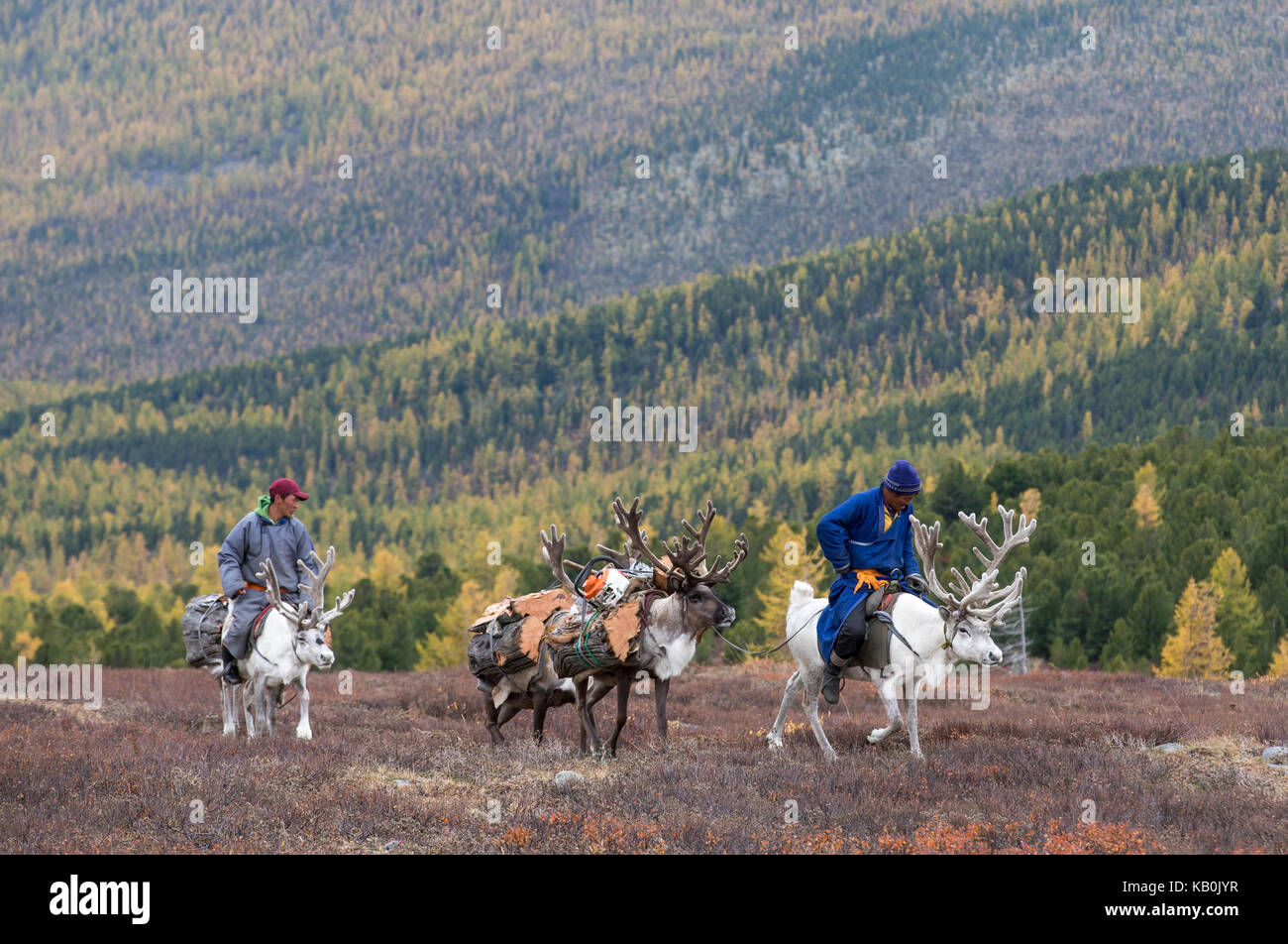 tsaatan family bringing firewood from a forest on reindeer - Stock Image