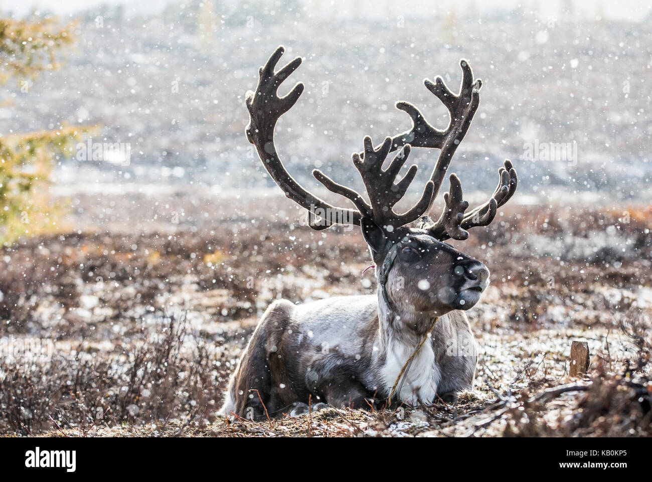 rein deer in a snow in northern Mongolia - Stock Image