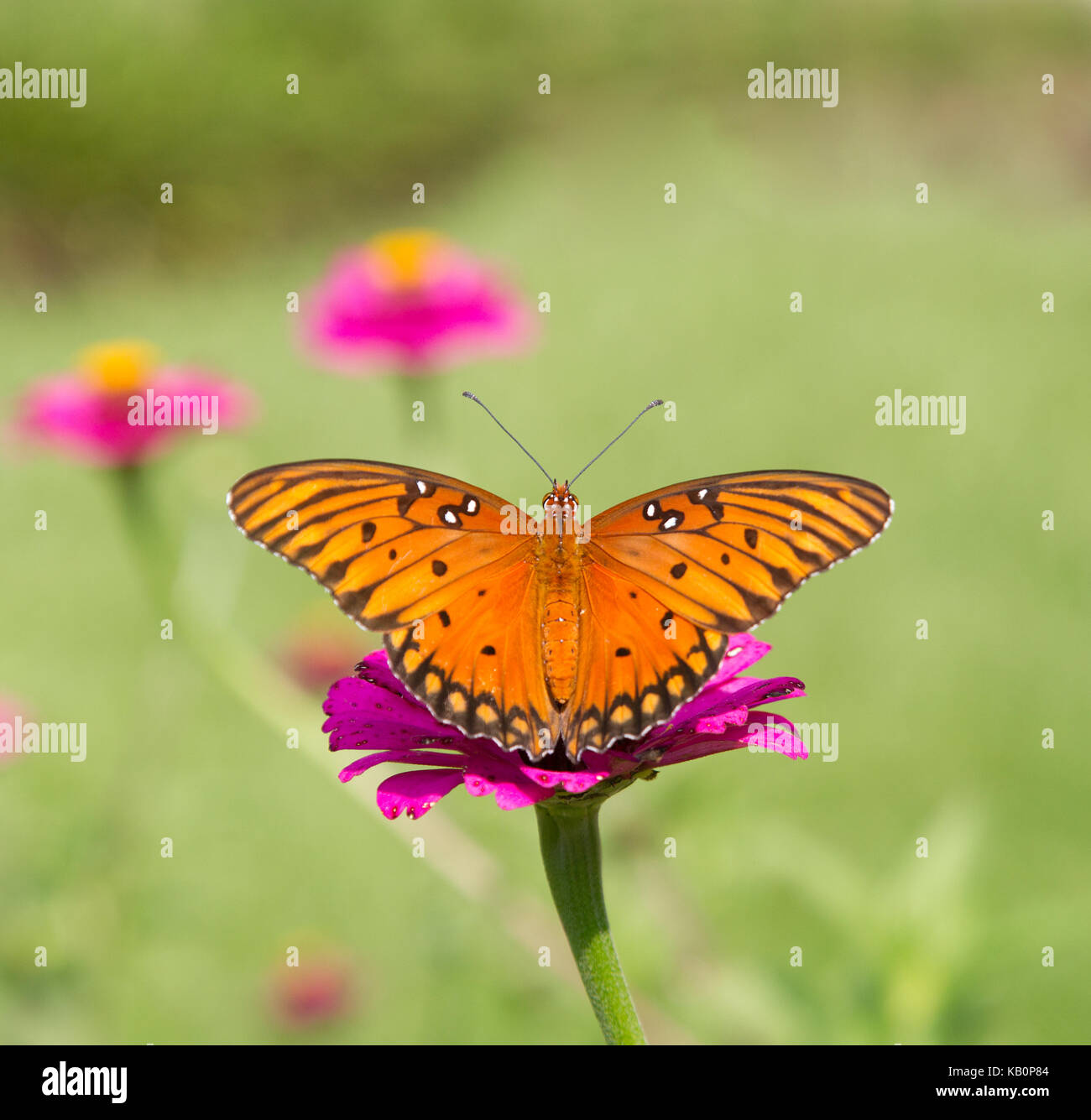 Gulf Fritillary Butterfly on Magenta Flower - Stock Image