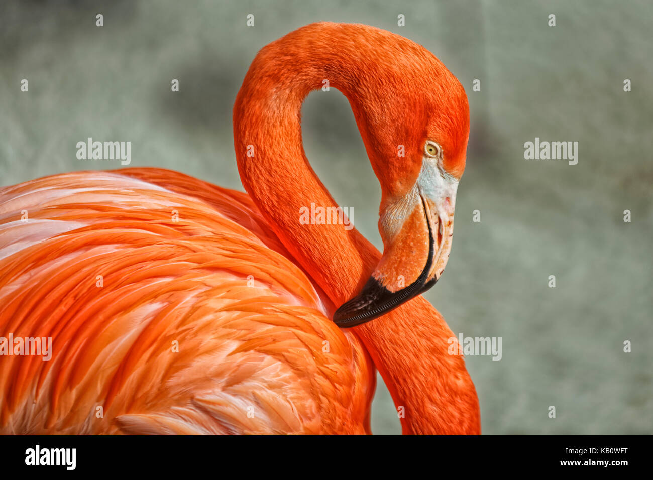 Flamingo portrait with blurred background - Stock Image