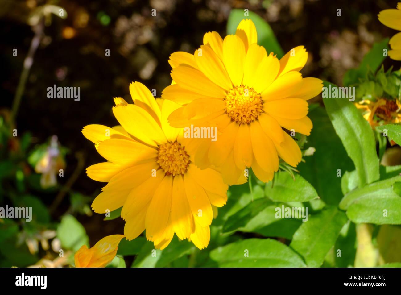 Calendula officinalis. perennials, - Stock Image