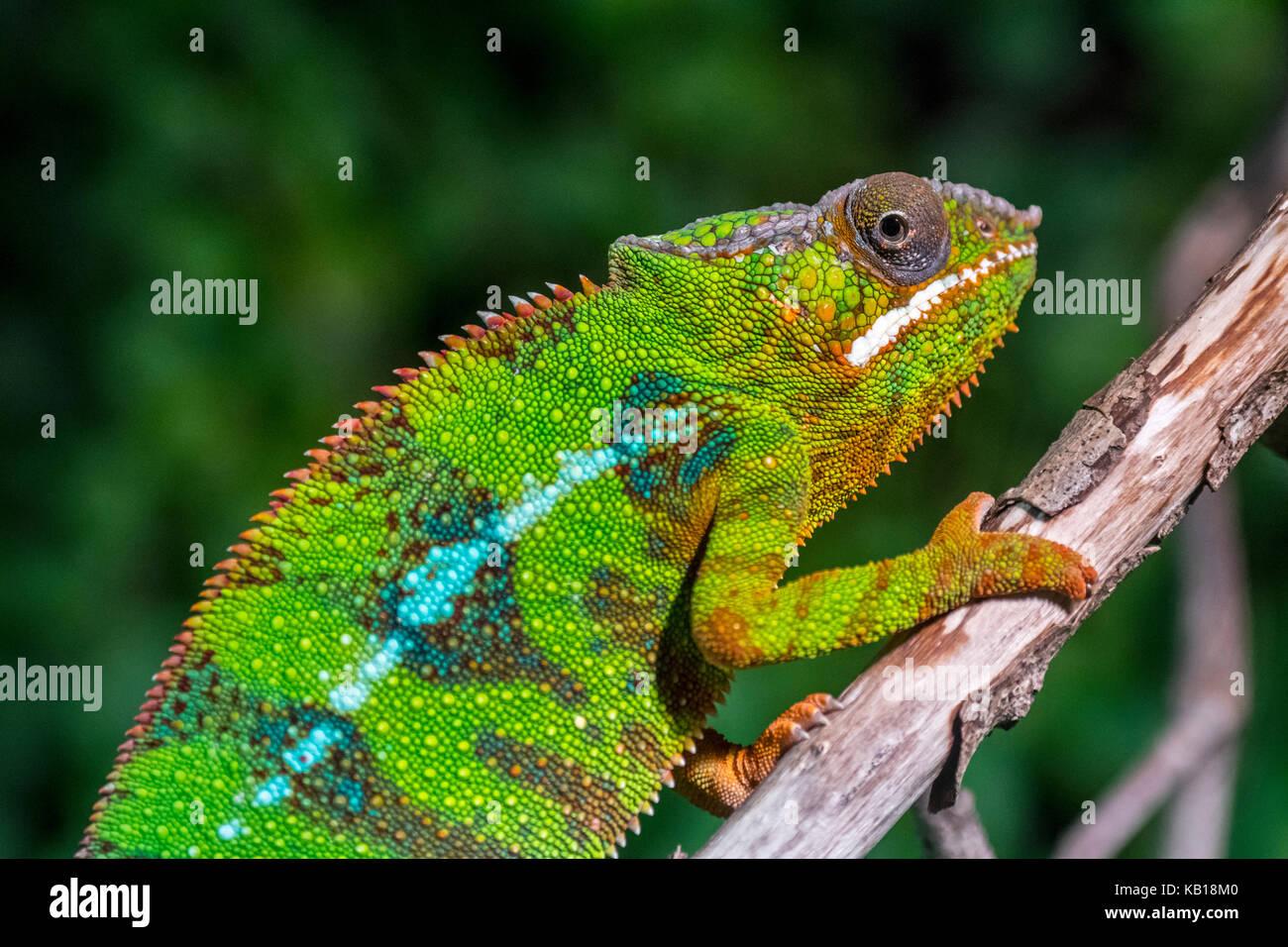 Panther chameleon (Furcifer pardalis) in tree, native to  Madagascar - Stock Image