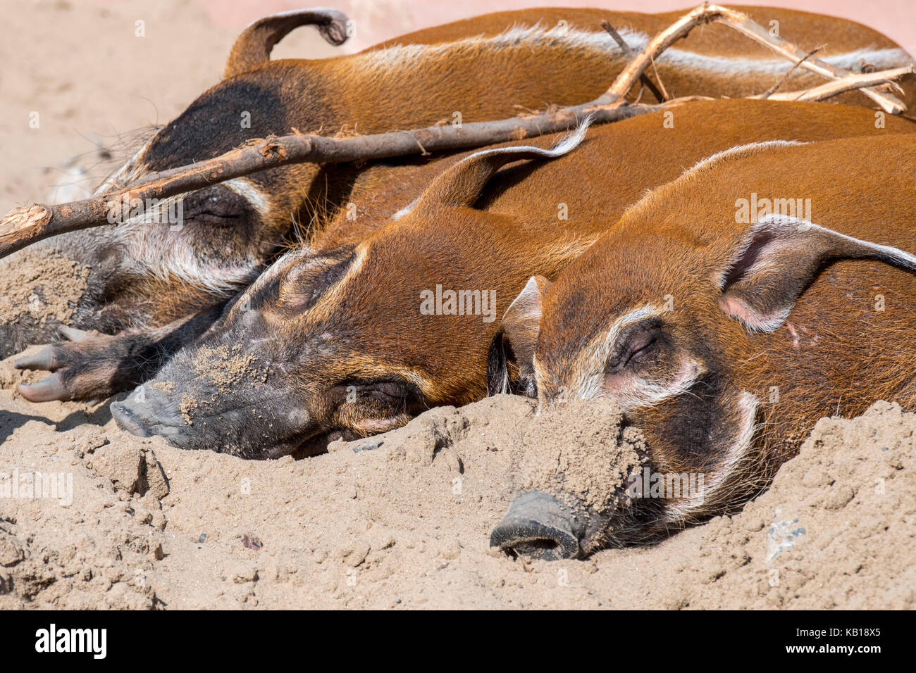 Close up of three red river hogs / bush pigs (Potamochoerus porcus) sleeping, native to Africa - Stock Image