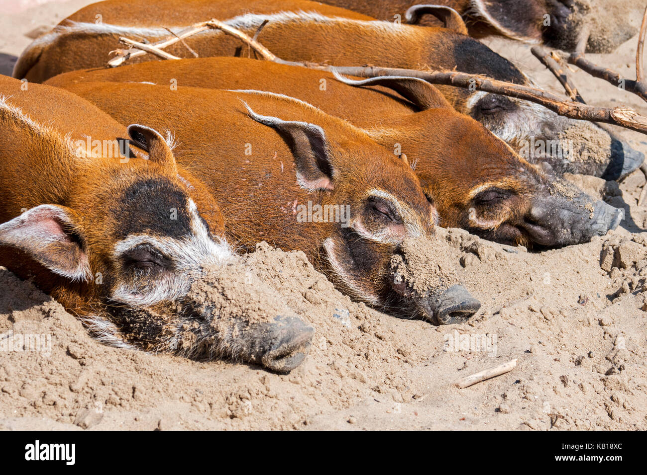 Close up of red river hogs / bush pigs (Potamochoerus porcus) sleeping, native to Africa - Stock Image