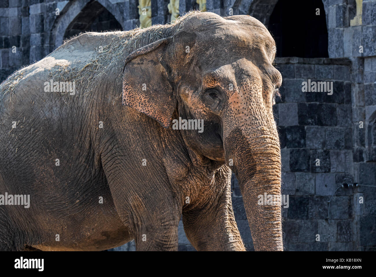 Depigmented Skin On The Forehead And Ears Of Asian Elephant
