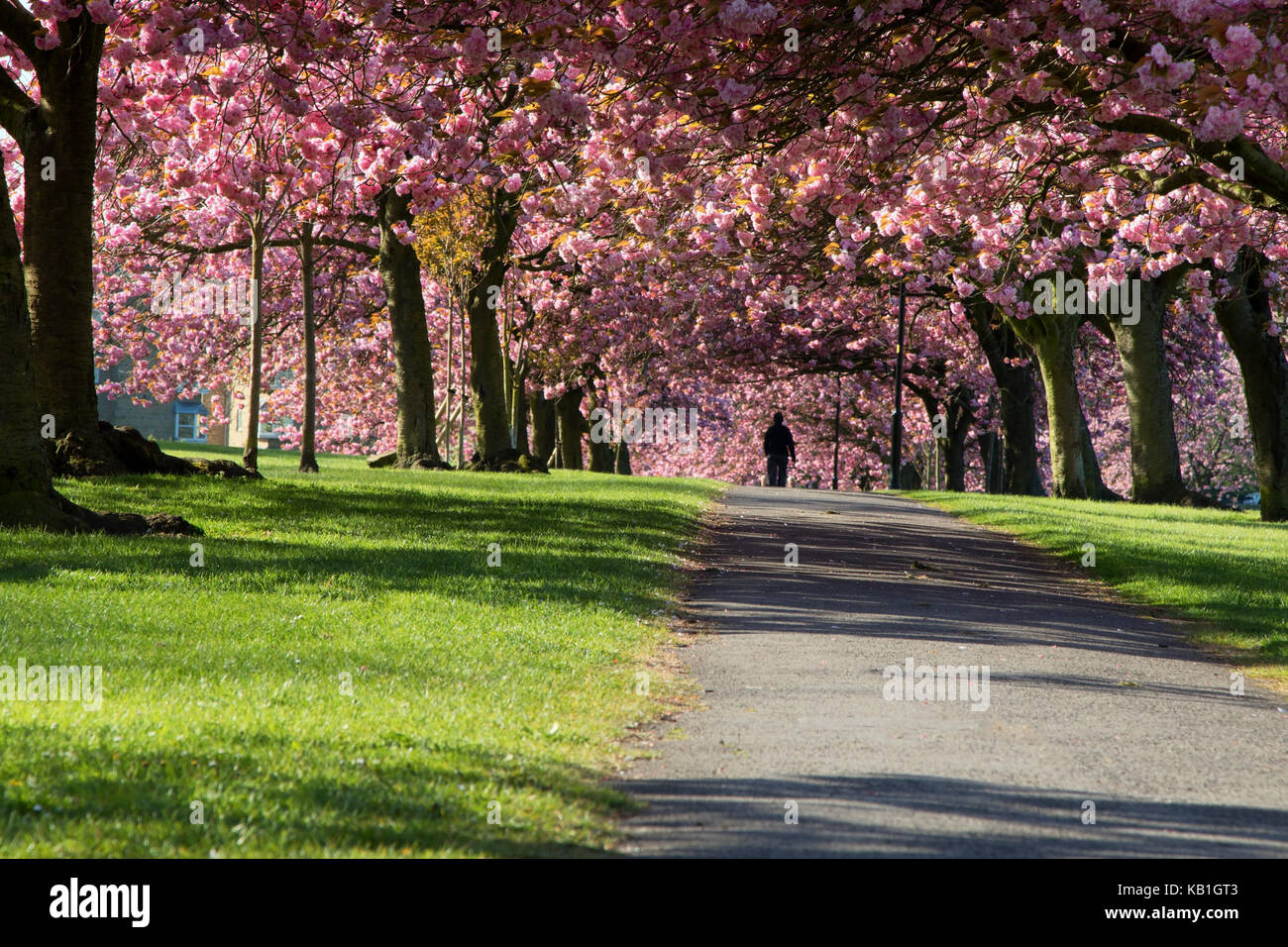 Pink Cherry Trees on Stray Rein in Harrogate,North Yorkshire,England - Stock Image