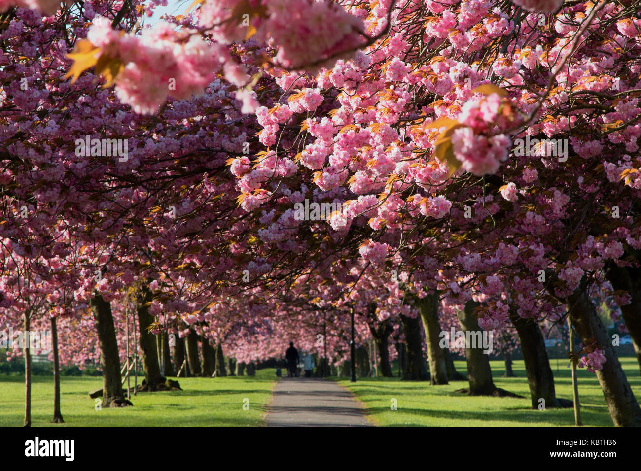 Pink Cherry Trees on Stray Rein in Harrogate,North Yorkshire,England Stock Photo