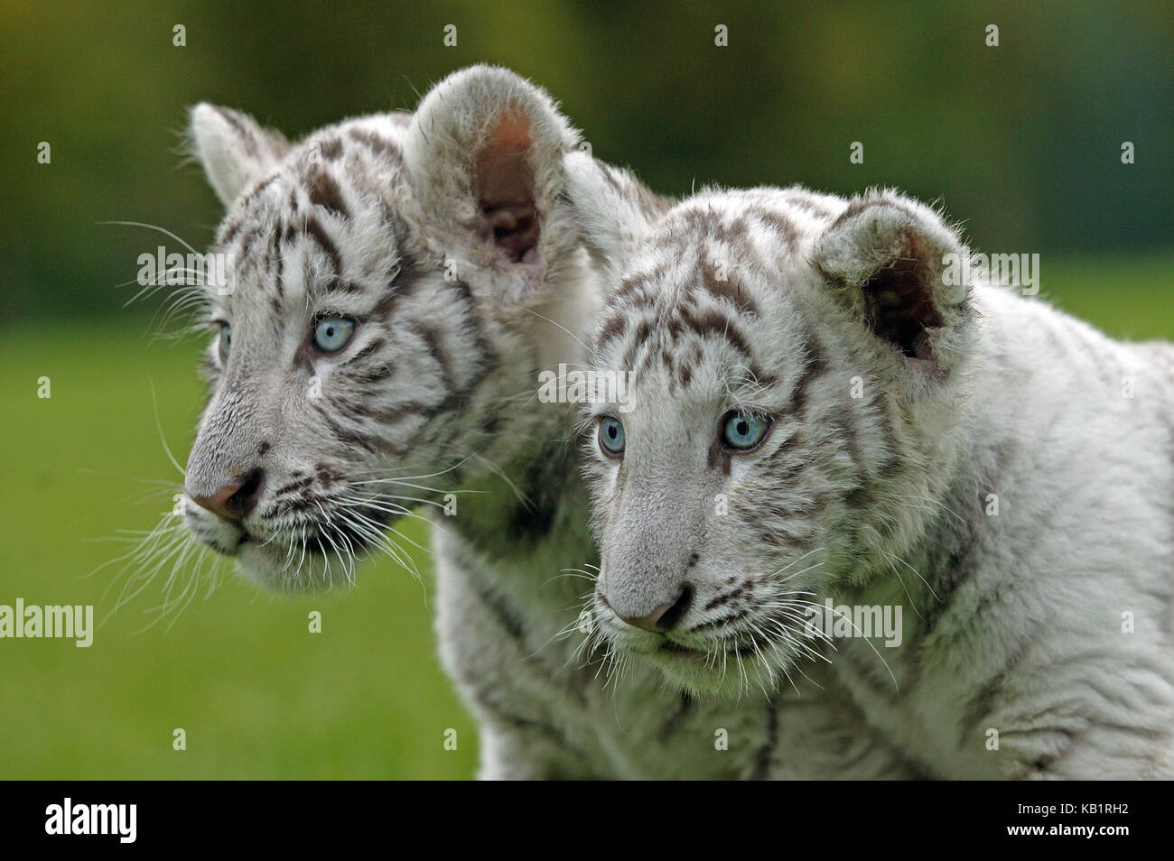 White tigers, Panthera tigris, two young animals, outside, portrait, - Stock Image