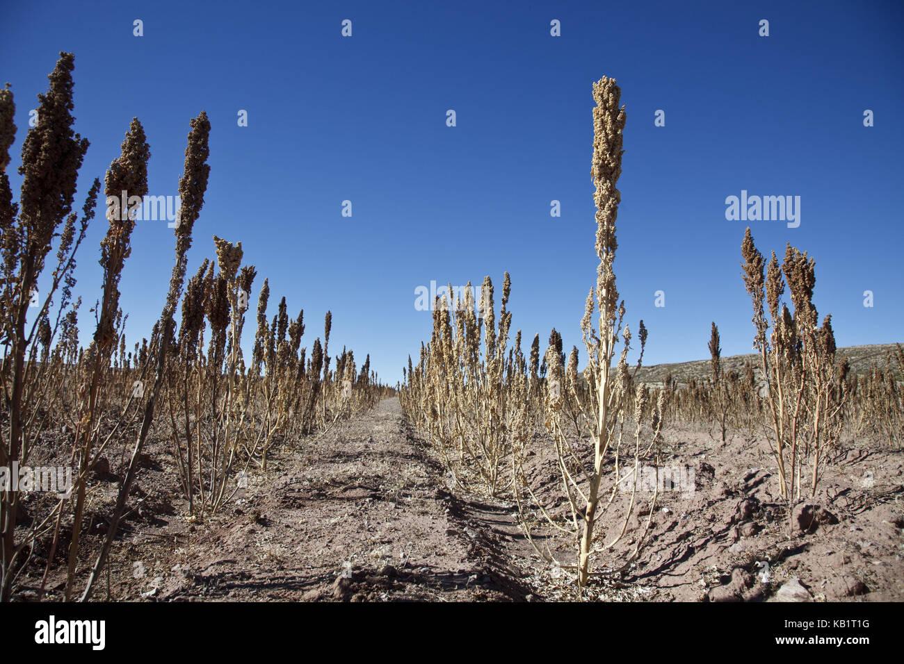 Bolivia, Salar De Uyuni, Fairly Trade, Quinoa, Field,   Stock Image