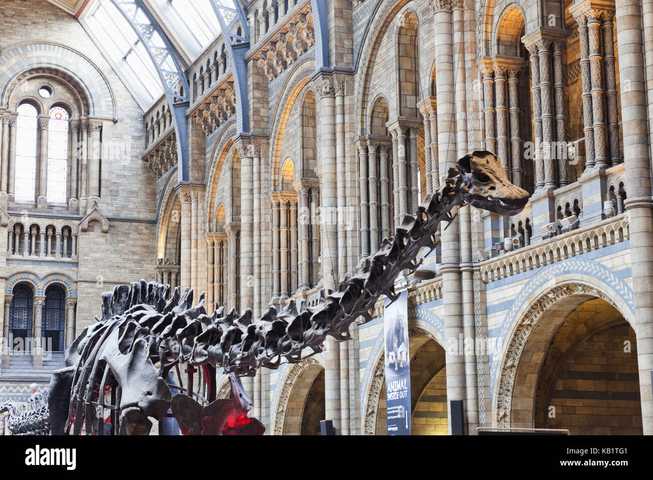 England, London, Kensington, nature-historical museum, Natural History museum, dinosaur skeleton, - Stock Image