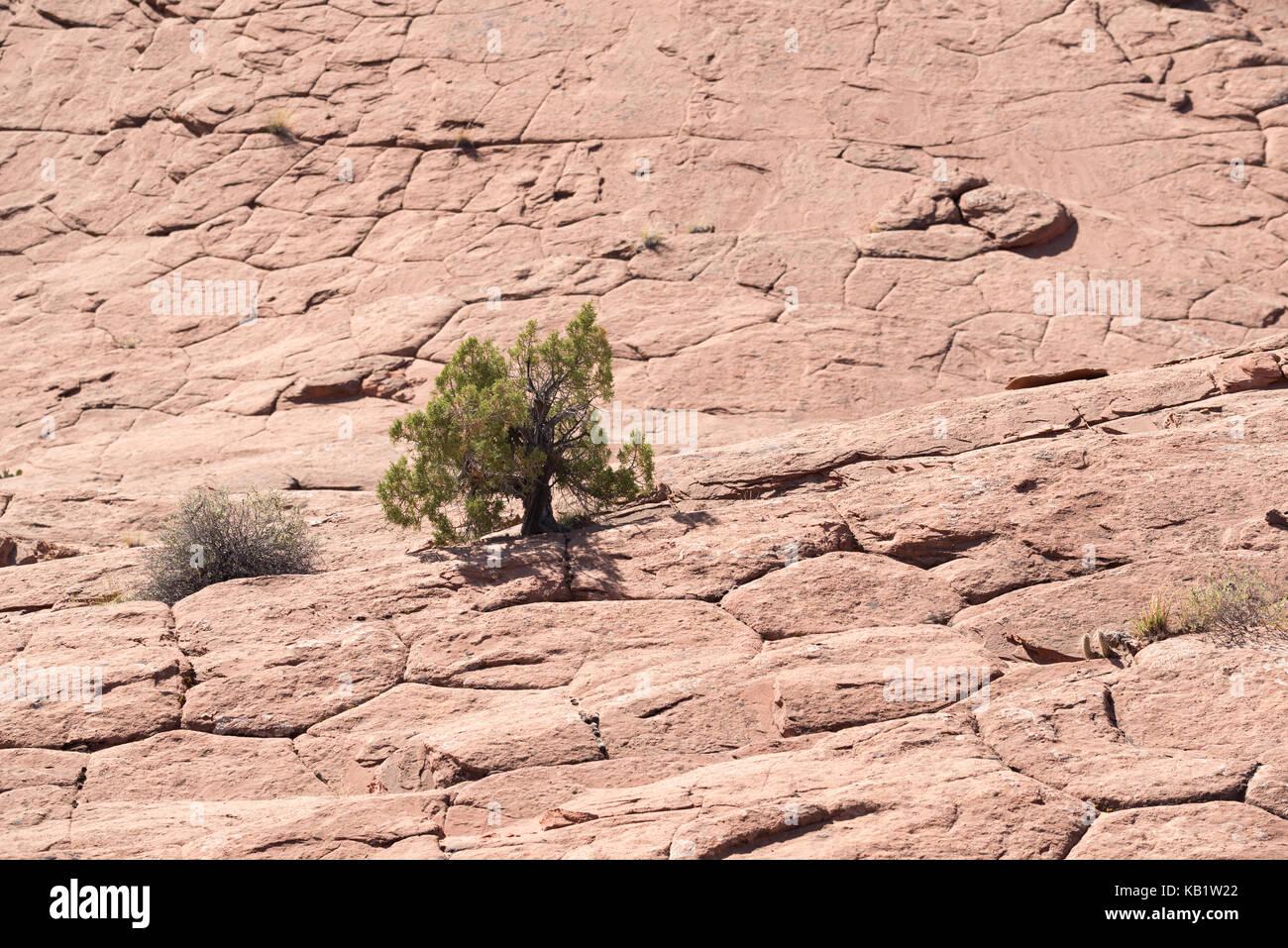 Juniper tree growing in slickrock, Grand Staircase - Escalante National Monument, Utah. - Stock Image