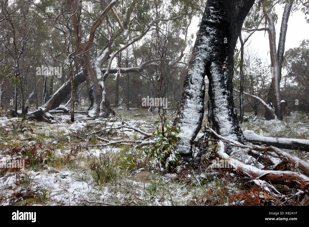 Light snowfall in Eucalypt forest during winter in the Grampians, Victoria, Australia - Stock Image