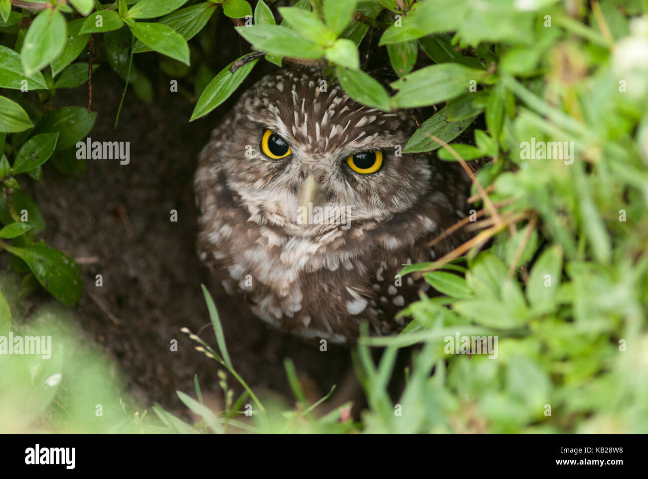 Burrowing owl looking out of its nest hole in a meadow. - Stock Image