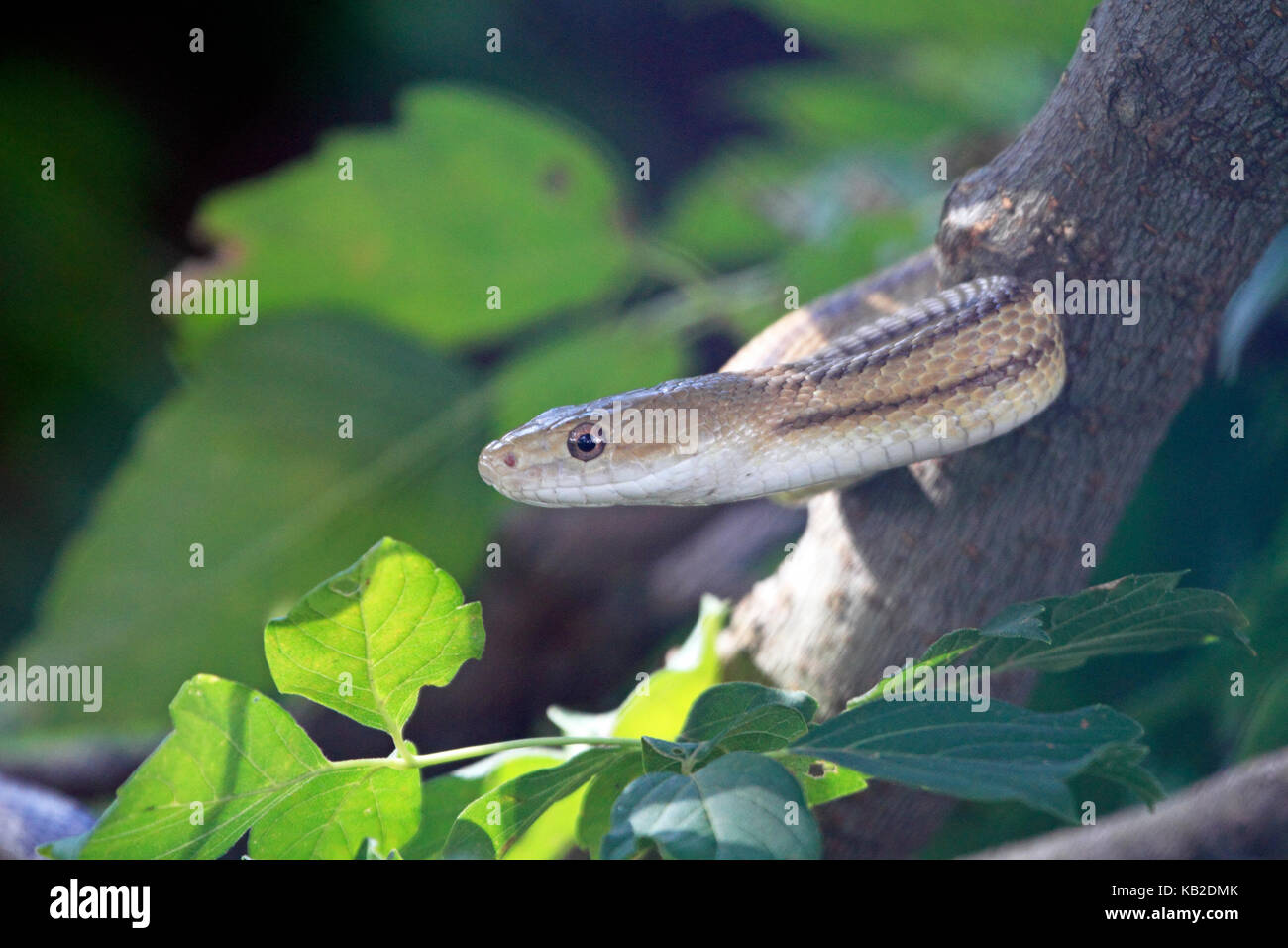 A snake in a tree. an allegorical of Adam and Eve - Stock Image