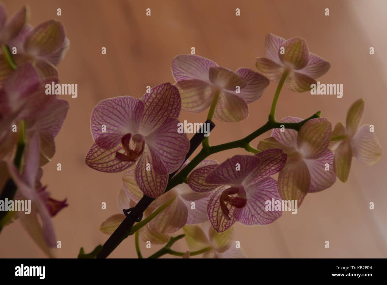 Orchid - Orquideas - Stock Image