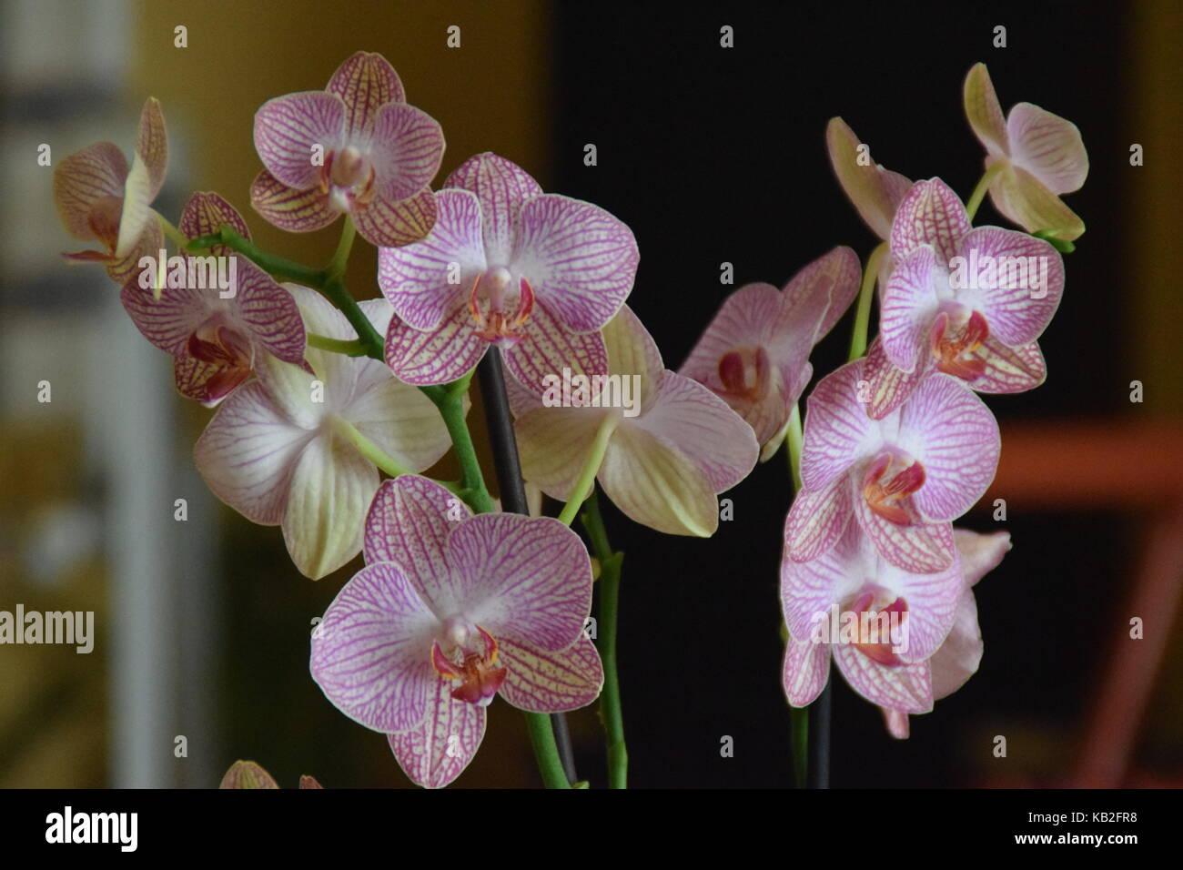 Orchid - Orquidea - Stock Image