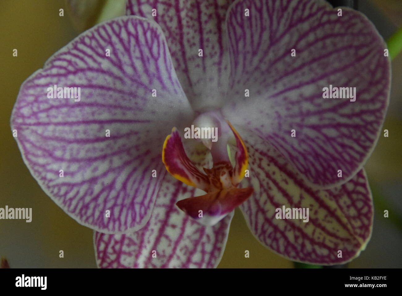 Orquideas lilas - Lilac orquichs - Stock Image