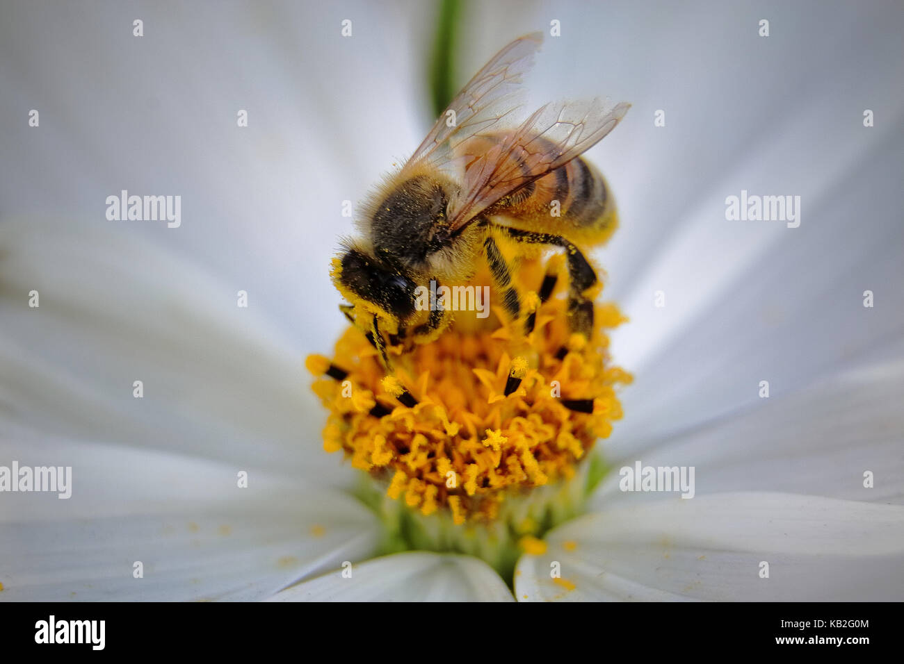 macro of a bee covered in pollen on a white cosmos flower - Stock Image