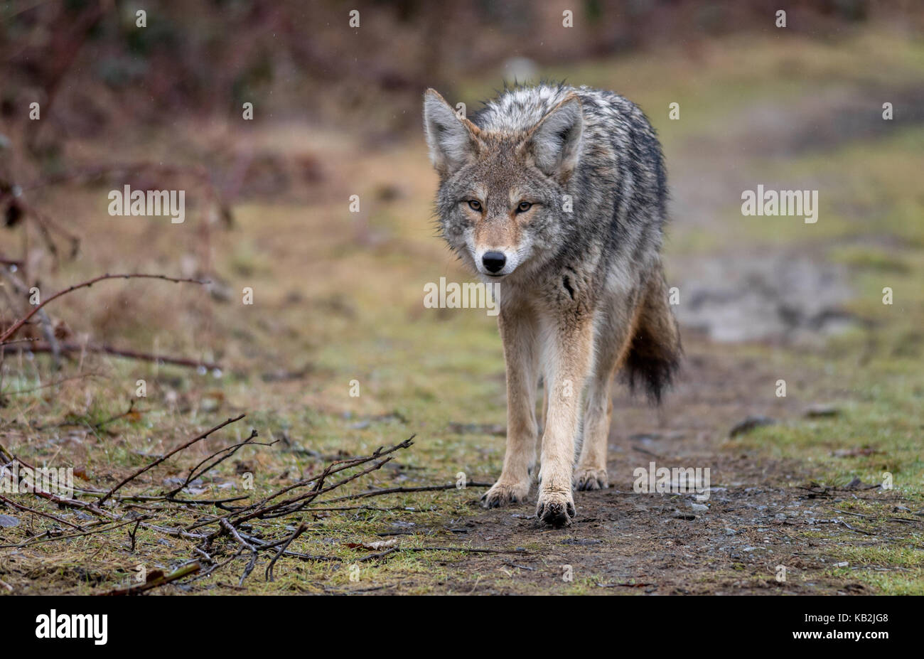Coyote in British Columbia, Canada - Stock Image