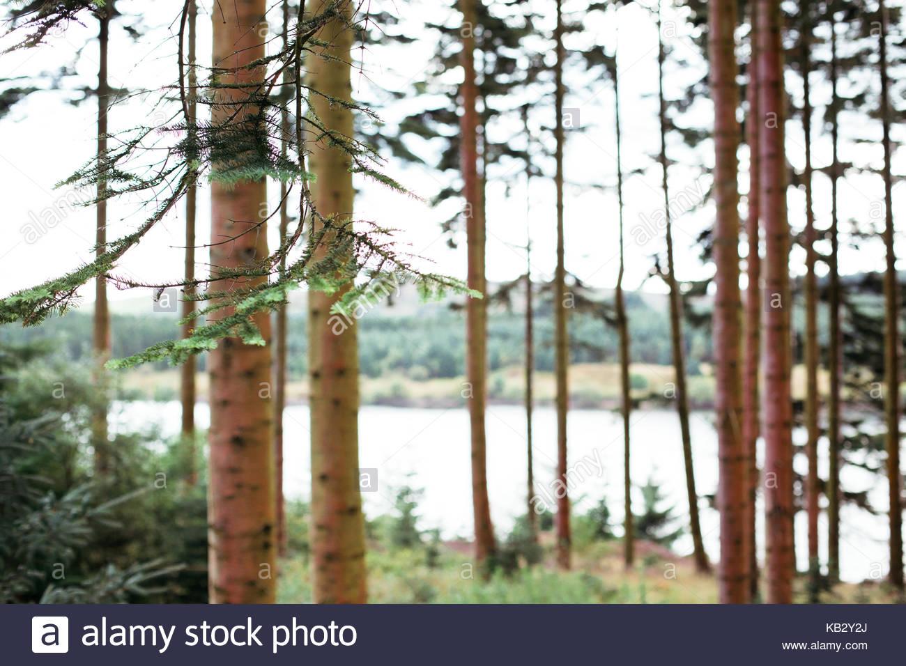 Fir trees - Stock Image
