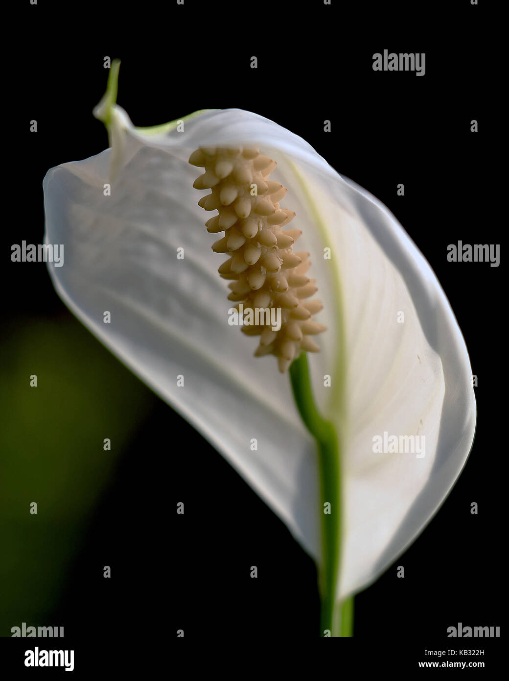 A close up of peace lily flower stock photos a close up of peace a close up of a spathiphyllum flower peace lily stock image izmirmasajfo
