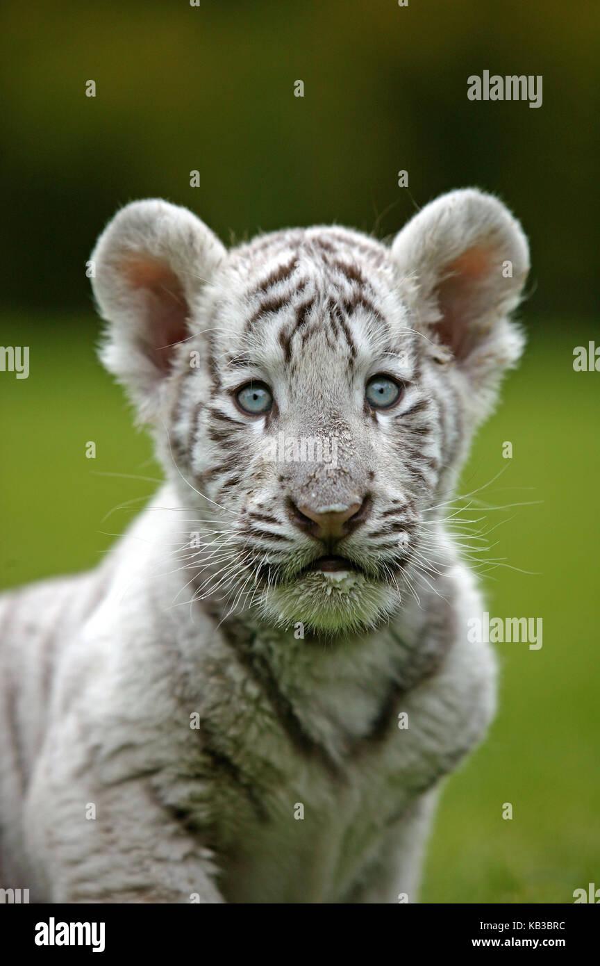 White tiger, Panthera tigris, young animal, portrait, - Stock Image