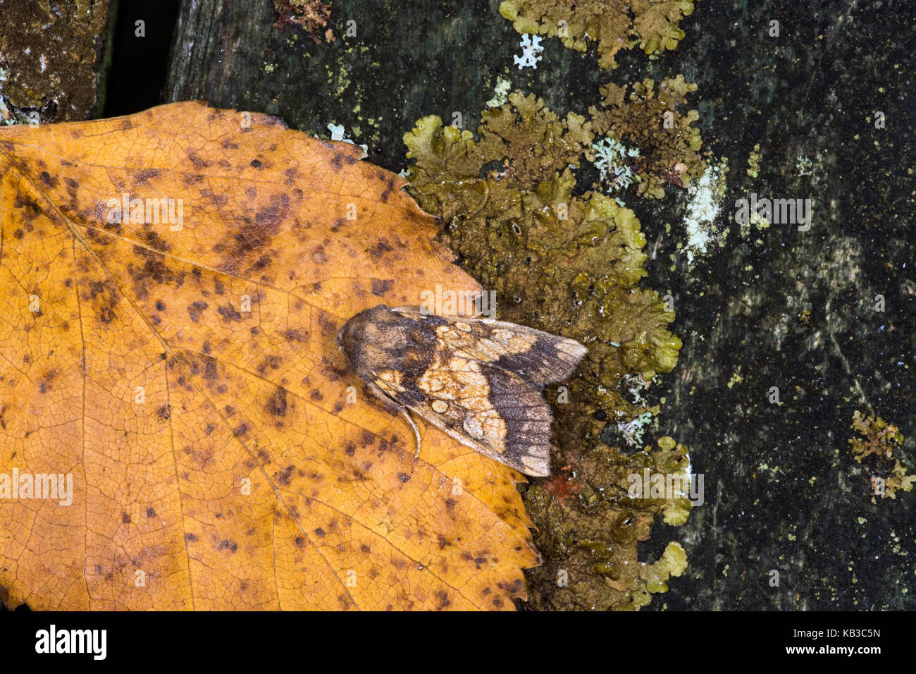 Garden Moth resting after being caught in a Moth Trap. - Stock Image