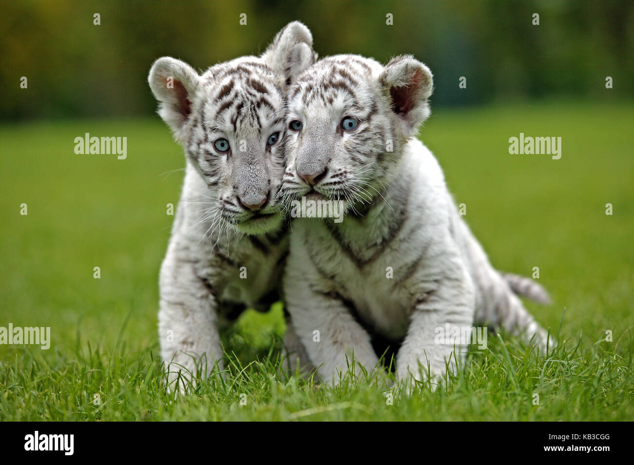 White tigers, Panthera tigris, two young animals, meadow, - Stock Image