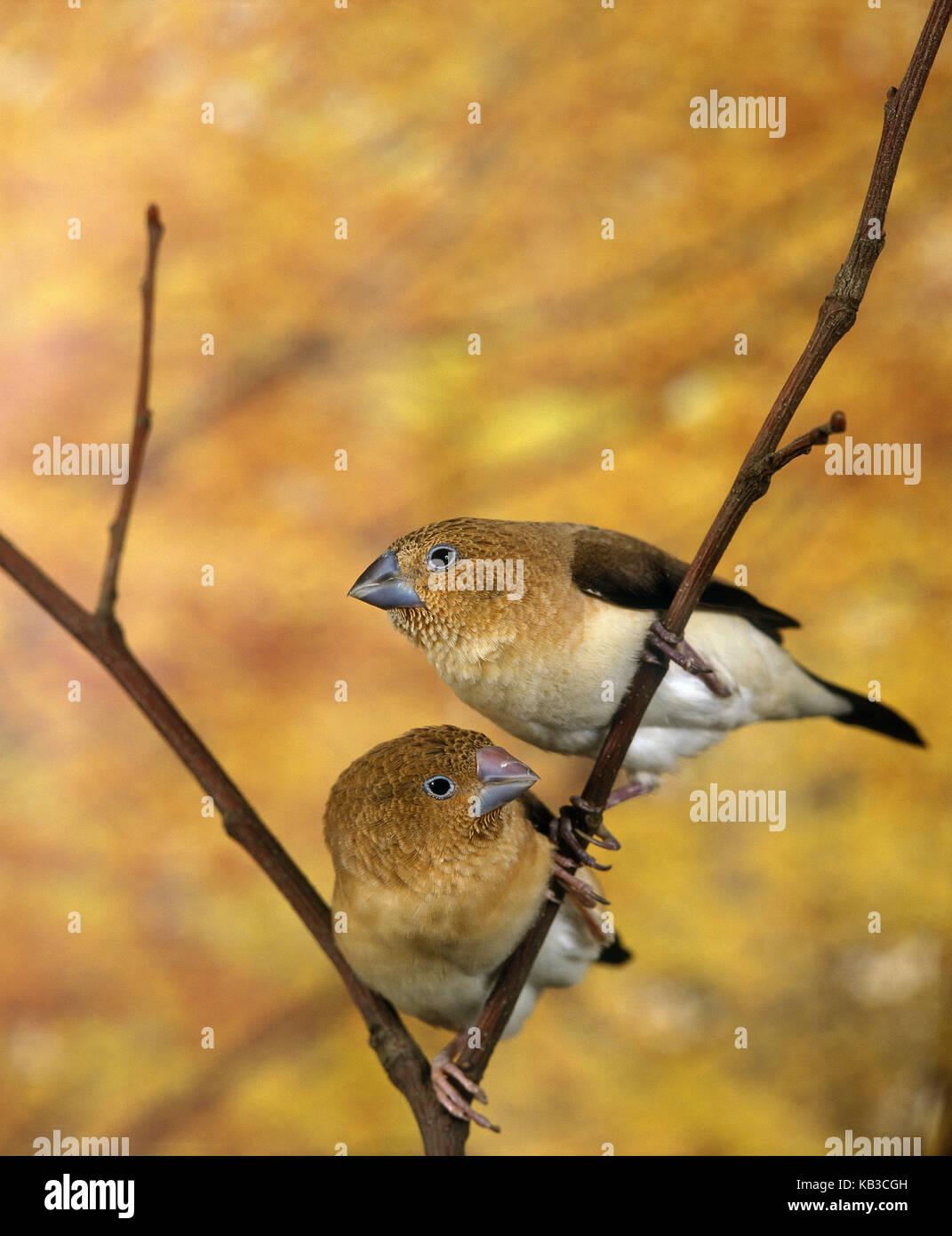 Little silver beaks, Lonchura cantans, two birds, fork, sit, Stock Photo