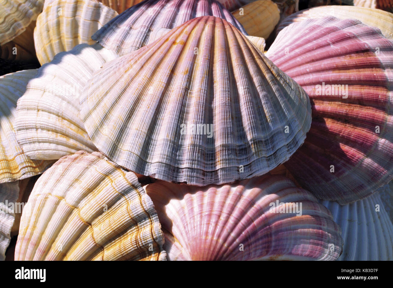 Spain, Way of St. James, scallop shells as a souvenir and icon of the jacobean pilgrim s, - Stock Image