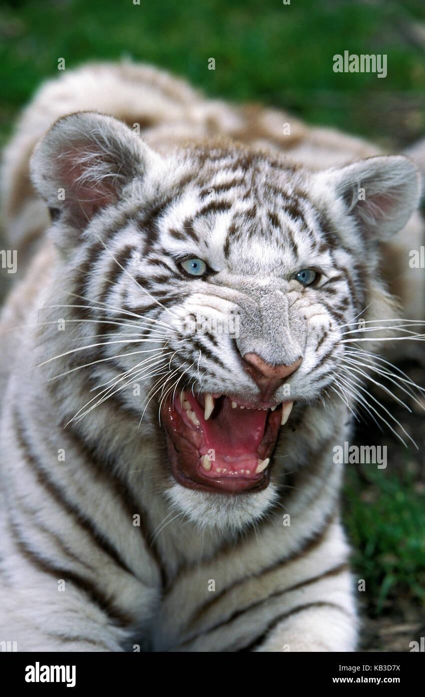 White tiger, Panthera tigris, young animal, hiss, medium close-up, - Stock Image