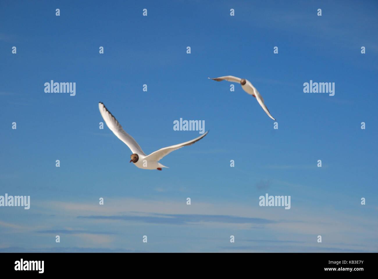 Ornithology, sea bird, black-headed gulls, flight - Stock Image