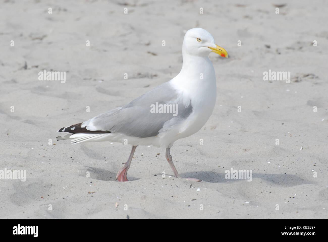 Ornithology, sea bird, Mediterranean gull, Sand - Stock Image