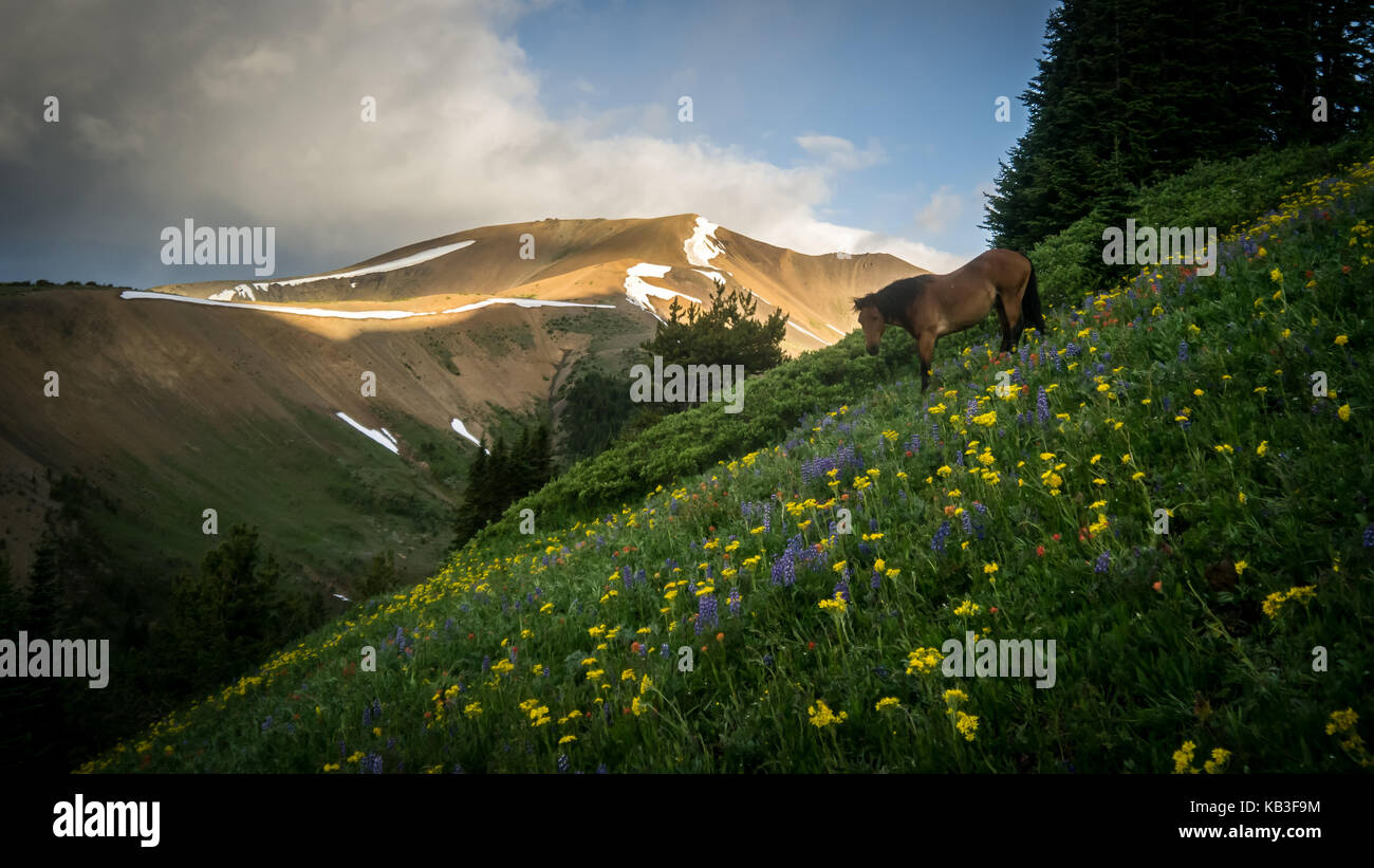 A horse grazing in blooming  alpine meadows in summer. View back towards Eldorado. (South Chilcotin Mountain Park, - Stock Image