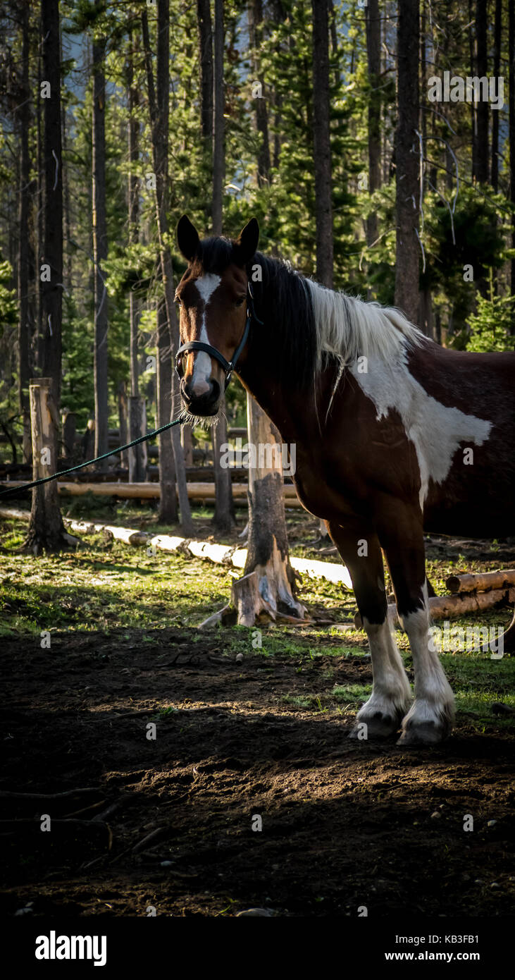 Beautiful brown and white paint horse looking alert while waiting tied up in a forest corral. (British Columbia, - Stock Image